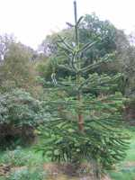 Monkey Puzzle Tree Discovered by Archibald Menzies